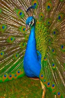 Bird, Peacock, Tail, Rainbow, Exotic, Zoo, Nature