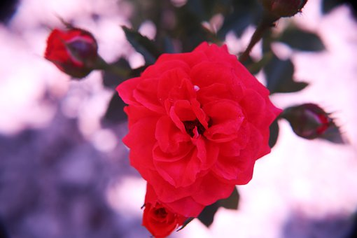 Red Rose, Roses, Flowers, Bloom, Blossom, Plant