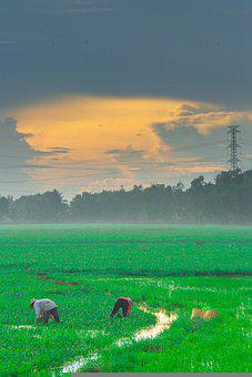 Rice, Country, Vietnam, Green, Clouds, Silk