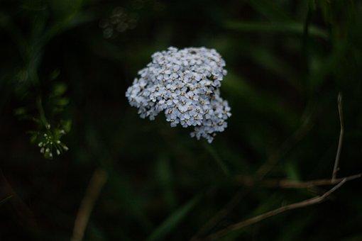 Yarrow, White Flower, Flower, Flowers Of The Field