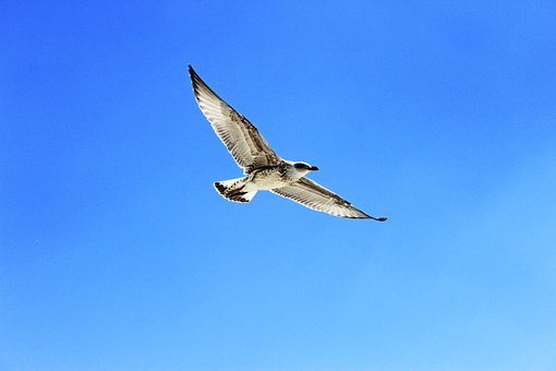 Seagull, Fly, Glide