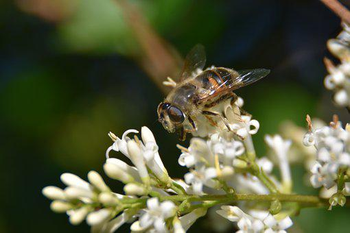 Drone Bee, Garden, Nature, Nectar, Pollen, Honeybee