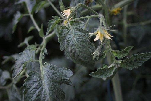 Tomato, Flower, Leaves, Green, Plant, Garden, Nature