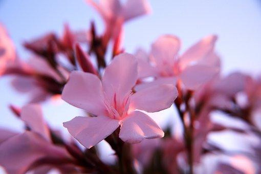Oleander, Pink, Pink Oleander, Oleander Plant