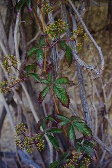 Grapevine, Plant, Facade Green, Climber Plant, Vines