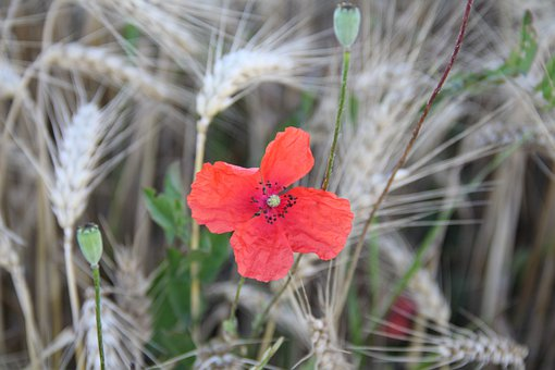 Poppy Flower, Red, Spike, Barley, Field, Nature