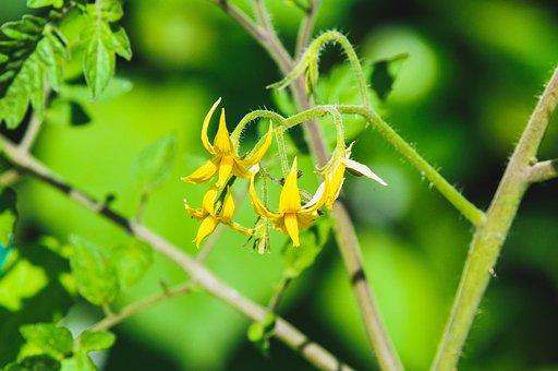 Plant, Bloom, Tomato Plant, Tomato Blossom, Tomato