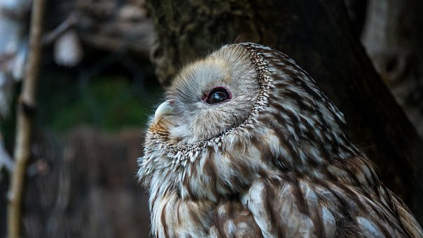 Hawk Owl, Uralkauz, Zoo, Portrait, Animal, Nature, Head