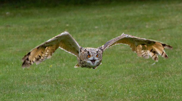 Owl, Flying, Bird, Eurasian Eagle-owl, Eagle Owl