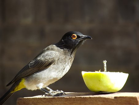 African Red-eyed Bulbul, Black-fronted Bulbul