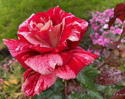 Rose, Pink, Red, Green, Bloom, Plant, Petals, Raindrops