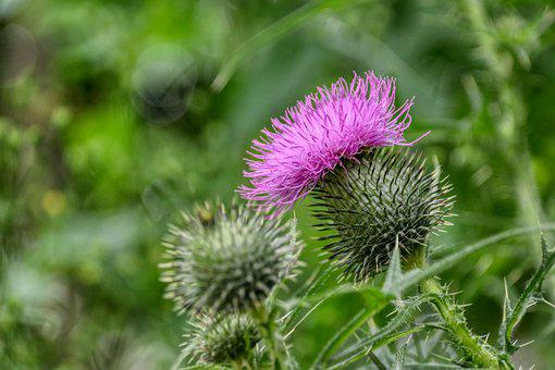 Thistle, Purple, Bloom, Blossom, Flower, Prickly