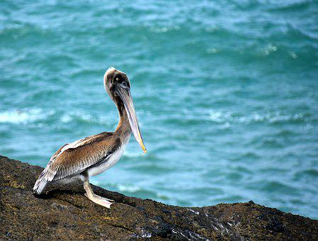 Pelican, Coastal Wildlife, Bird, California