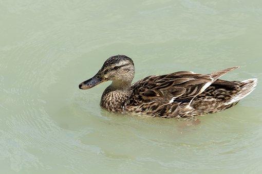 Wild Ducks, Bird, Water, Lake, Swim, Teal, Water Bird