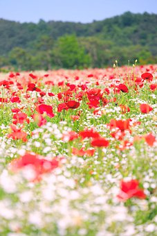 Poppy, Flowers, Field, Bloom, Petals, Nature