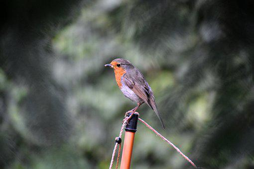 Old World Flycatcher, Robin, Bird, Songbird, Garden