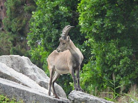 Stone Goat, Rock, Horns, Stand, Mammal, Alpine Ibex