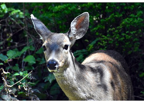 Deer, Doe Eyes, Wildlife, Doe Eyed, Wide Eyed, Animal
