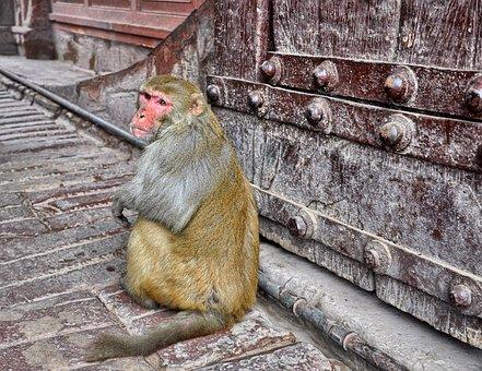 Monkey, Magot, Animal, Gateway, Animals In The Wild