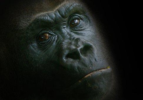 Gorilla, Monkey, Zoo, Animal, Ape, Watch, Animal World