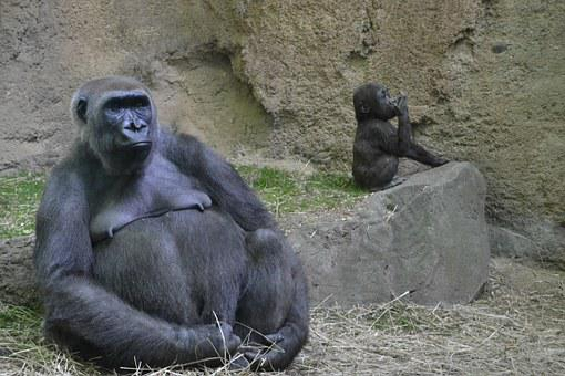 Gorilla, Zoo, Animal, Ape, Male, Funny, Strong, Primate