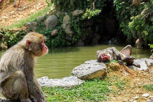 Mono, Ape, Japan, Lake, Macaco, Primate