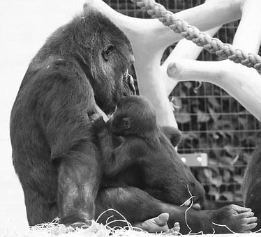 Gorilla, Ape, Young Animal, Mother, Motherly Love