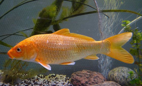 Carp, Koi Fish, Pond, Asia, Garden, Summer, Breeding