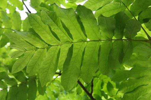 Leaf, Green, Leaf Fronds, Backlighting, Leaf Ribs