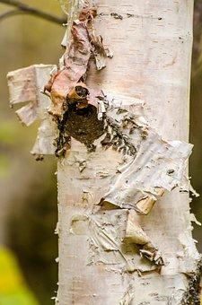 Birch Tree, Bark, Peeling Bark, Fall, Autumn, Trees