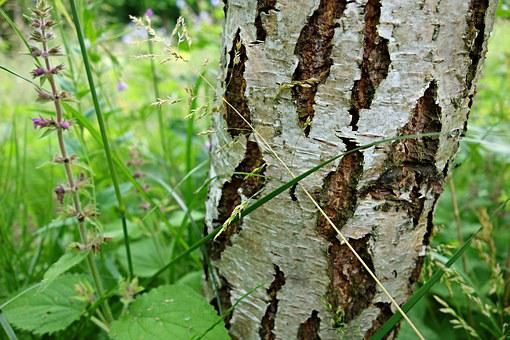 Birch, Birch Tree, Tree, Bark, Trunk, Silvery