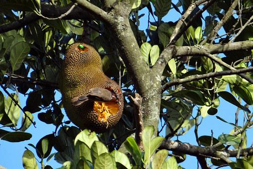 Jackfruit, Overripe, Bird, Fruit Beetle, Feeding