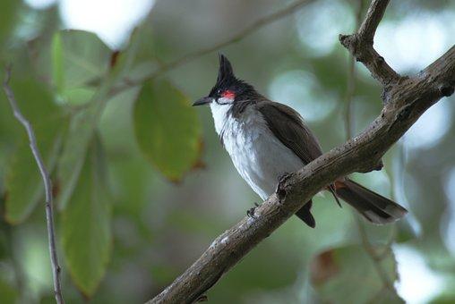 Bird, Bulbuls, Sperling, Songbird, Branch, Leaves