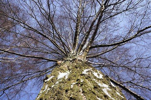 Birch, Tribe, Log, Bark, Nature, Tree, Sky, Branches