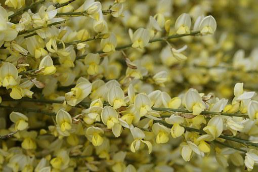 Broom, Bloom, Yellow, Plant, Bush, Blossom, Bloom