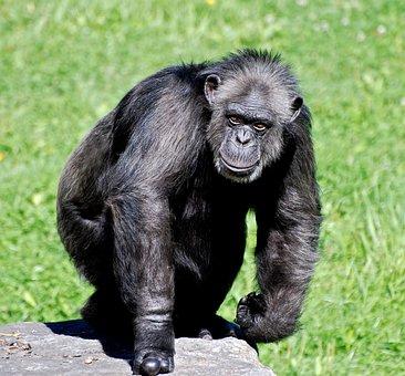 Chimpanzee, Animal, Apes, Gorilla, Mammal, Tourism