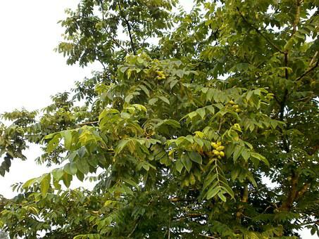 Walnut Trees, Walnut, Chopped Walnuts, Arboretum