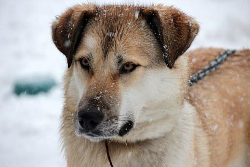 Pet, Dog, Redhead, Large, Animal, Views, Cute, Closeup
