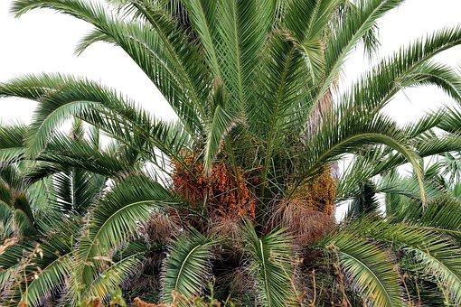 Palma, Dates, Date Palm, Tropical Fruit, Group