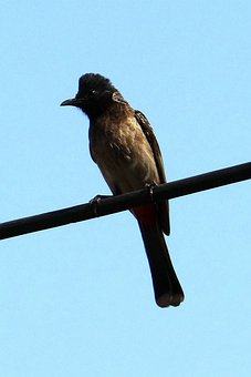 Red-vented Bulbul, Pycnonotus Cafer, Dharwad, India