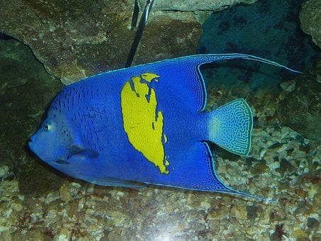 Arabian Angelfish, Fish, Blue, Hurghada, Egypt, Red Sea