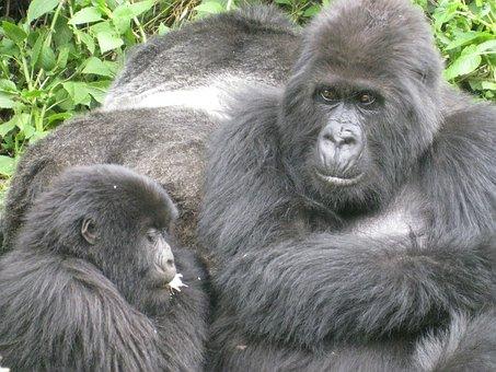 Jungle, Gorilla, Endangered