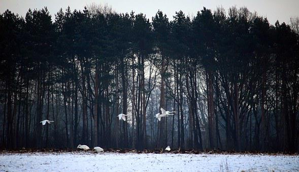 Wild Geese, Whooper Swan, Swans, Flock Of Birds, Winter