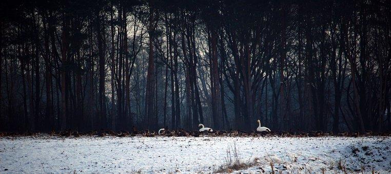 Wild Geese, Swans, Whooper Swan, Flock Of Birds, Winter