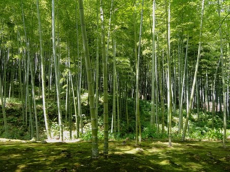 Kyoto, Japan, Bamboo, Forest, Trees, Woods, Nature