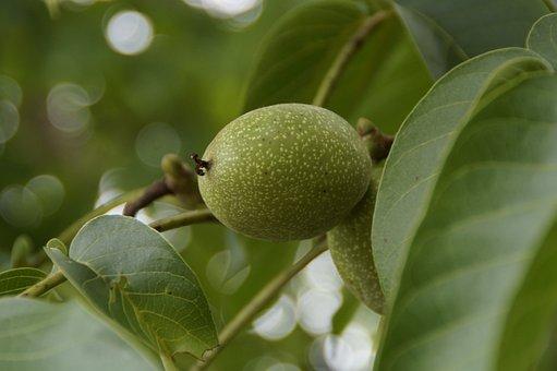 Walnut, Walnut Tree, Green, Fruit, Fresh, Healthy, Nut