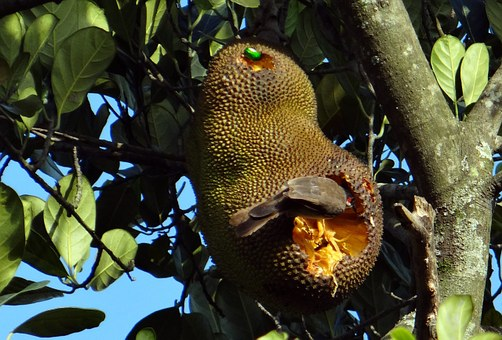 Jackfruit, Overripe, Bird, Fruit Beetle, Feeding