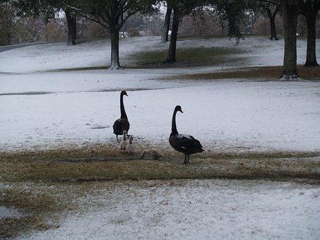 Goose, Geese, Ducks, Animal, Nature, Duck, Duck Bird