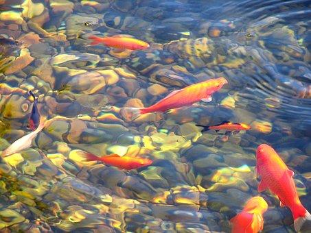 Koi, Fish, Pond, Water, Japanese, Swim, Asian, Zen