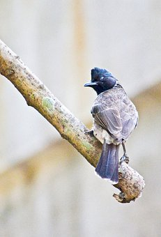 Red Vented Bulbul, Bird, Male Bird, Resting, Nature